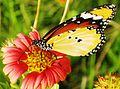 Monarch (butterfly).jpg