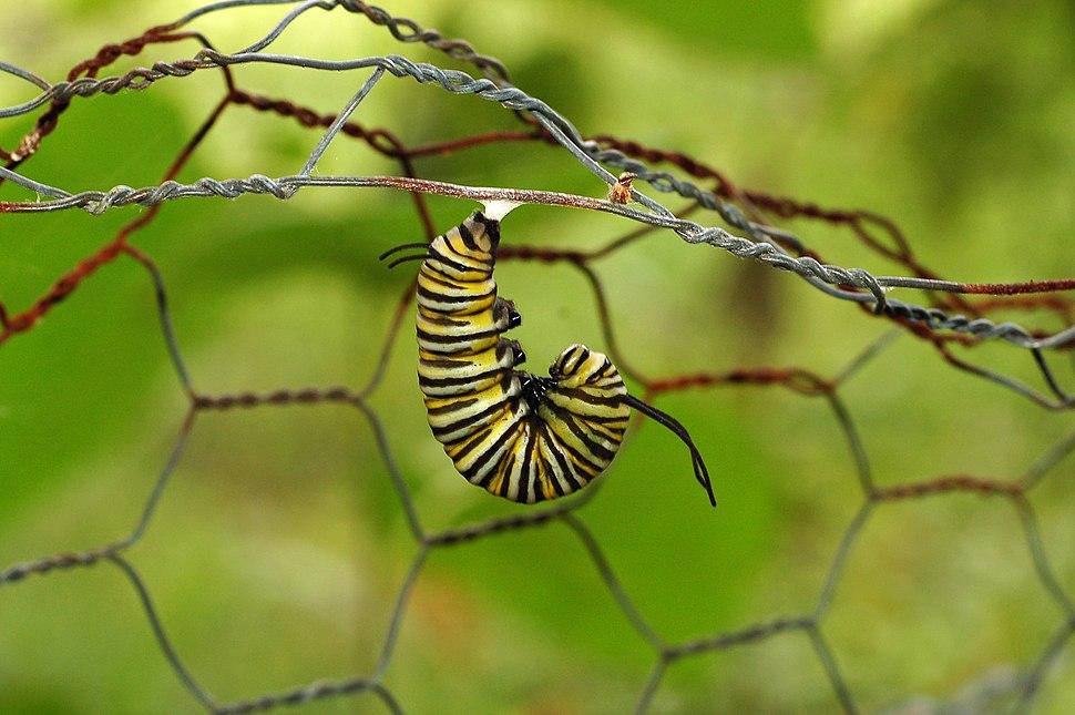 Monarch Butterfly Danaus plexippus Pupation 2419px