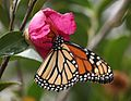 Monarch on Camellia (22865243121).jpg