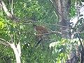 Mono ardilla en Puerto Armuelles, Panamá (Panamanian Squirrel Monkey) 03.JPG