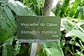 Monodora myristica-Jardin des Plantes de Paris (1).jpg