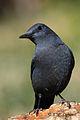 Monticola solitarius, Spain 2.jpg