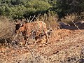 Moo cows on trail next to Amirim - panoramio.jpg