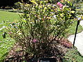 Morris Arboretum Floribunda rose.JPG
