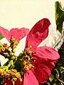 Mosca das flores (Ceriana sp) 04.jpg