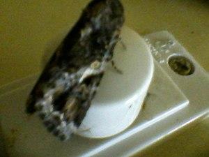 Moth0141.jpg