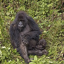 Mountain gorilla (Gorilla beringei beringei) female with baby.jpg