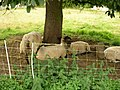 Moutons (01).jpg