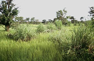 Sudanian Savanna - Sudanian savanna with bunchgrass tufts of Andropogon gayanus, Pama reserve, Burkina Faso.