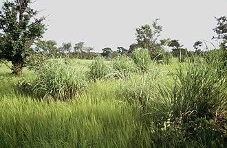 Pama Reserve - Savanna with Andropogon gayanus tufts.