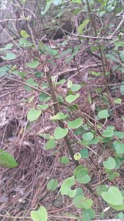 <i>Muehlenbeckia australis</i>