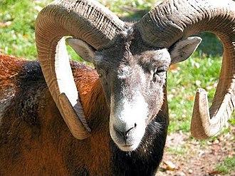 Sudetes - Mouflon