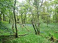Mugdock Wood near Milngavie - geograph.org.uk - 996542.jpg