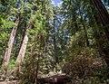 Muir Woods (50526s).jpg