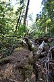 Muir Woods National Monument 2010 06.JPG