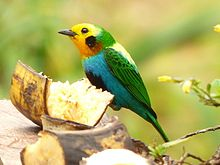 Multicolored tanager chicoral.jpg