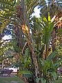 Musa paradisiaca Principe Real.jpg