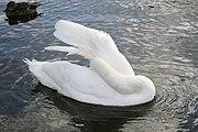 Mute swan cleaning.jpg