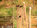 Myna birds on fence.png