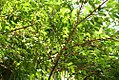 Myrciaria cauliflora 17zz.jpg