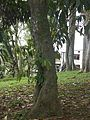Myrica pubescens.jpg