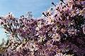 Myrtenaster Pink Star (Aster ericoides) Blumengärten Hirschstetten Wien 2014 c.jpg