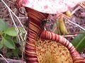 N. rafflesiana9.jpg