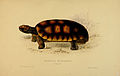 N28 Sowerby & Lear 1872 (chelonoidis denticulata).jpg