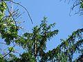ND 611.070, Eibe, 1, Wolfsanger-Hasenhecke, Kassel.jpg