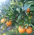 Naranjas de PALMA DEL RIO.jpg