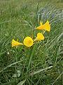Narcissus bulbocodium clump 01.JPG