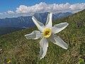 Narcissus radiiflorus (35245632286).jpg