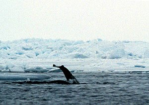 Polynya - The flukes of a narwhal in a Baffin Bay polynya.