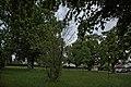 Naturdenkmal Linden am Sedanplatz, Kennung 82350290001, Gechingen-Bergwald 06.jpg