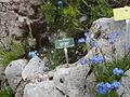 Naye-Alpengarten 08.JPG