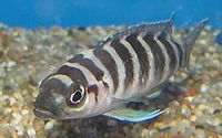 Neolamprologus cylindricus: One of many cichlid fish species of Tanganyika