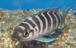 Neolamprologus cylindricus.jpg