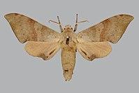 Neopolyptychus convexus BMNHE270232 male up.jpg
