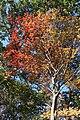 Neoshirakia japonica s5.jpg