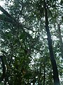 Nepentheslingulata1.jpg
