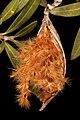 Nerium oleander 5Dsr 3616.jpg