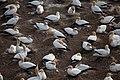 Nesting Gannets.jpg