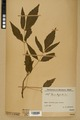 Neuchâtel Herbarium - Acer negundo - NEU000026055.tiff