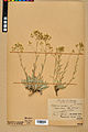 Neuchâtel Herbarium - Aurinia saxatilis - NEU000022637.jpg