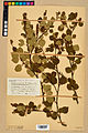 Neuchâtel Herbarium - Betula x pubescens - NEU000020262.jpg