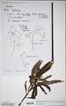 Neuchatel Herbarium Types NEU000113019.tif