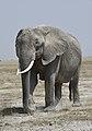 New 6676 Amboseli elephant JF.jpg