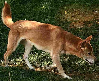 New Guinea singing dog - Image: New Guinea Singing Dog on trail Cropped