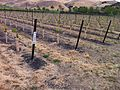 New Wente Vineyard plantings in Livermore Valley AVA.jpg