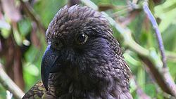 New Zealand Kaka.jpeg